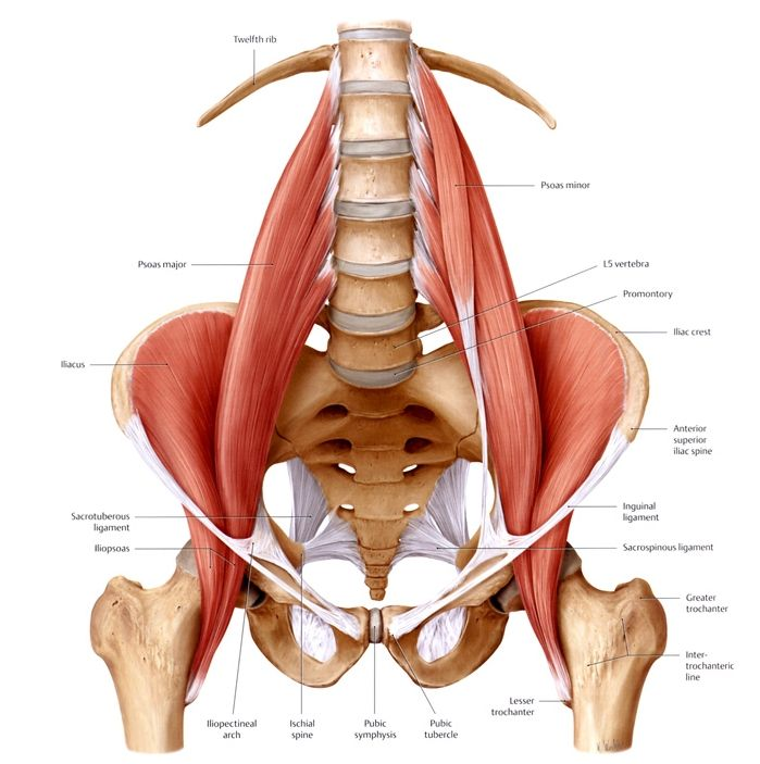 Pelvic Muscles Learn Psoas Muscle Yoga Muscle