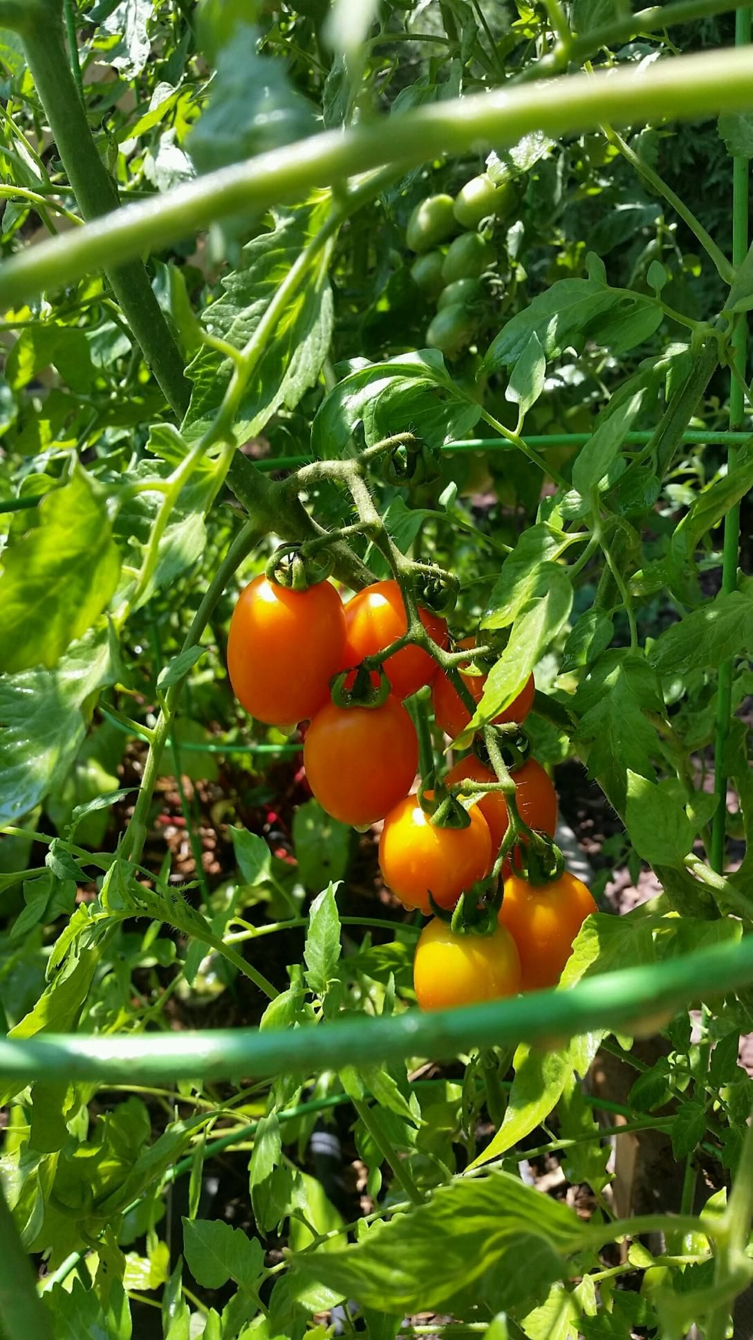 Fresh from the vine organic cherry tomatoes! (With images