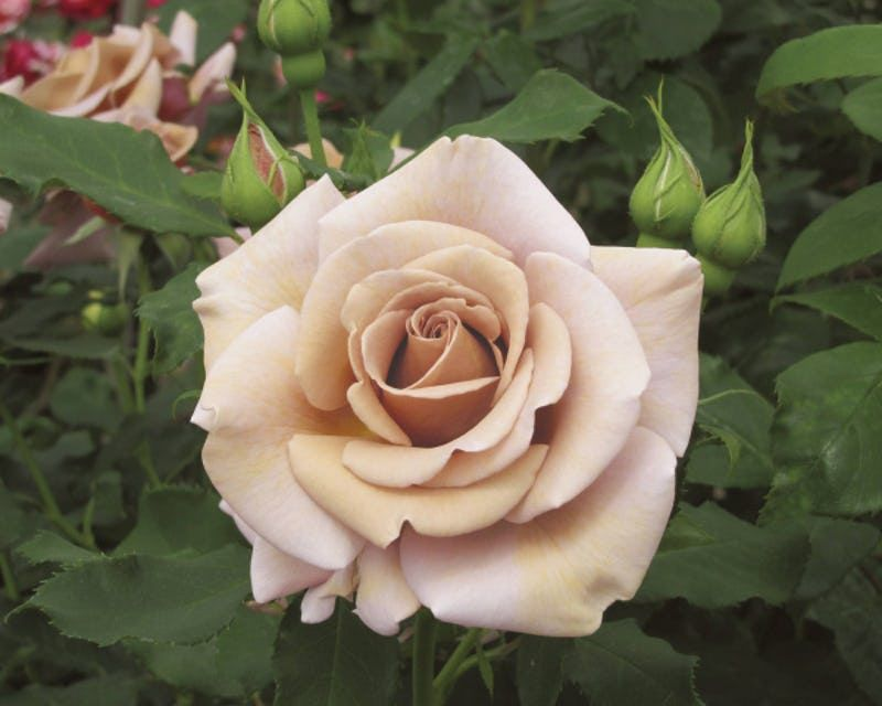 Why North Texans Should Plant Roses And We Ll Help You Choose Flowers Planting Roses Beautiful Roses