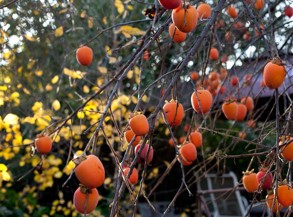 Persimmon Tree Care Learn How To Grow Persimmon Trees Tree Care Fruit Trees Growing Fruit
