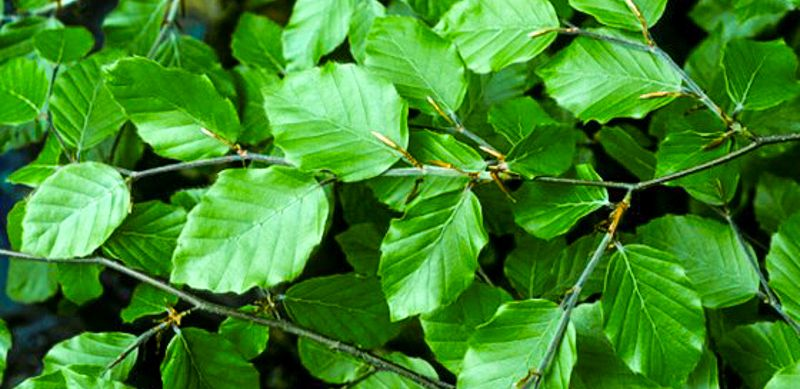 How To Identify Trees By Their Leaves Georgiapellegrini Com How To Identify Trees Identifying Trees Leaves