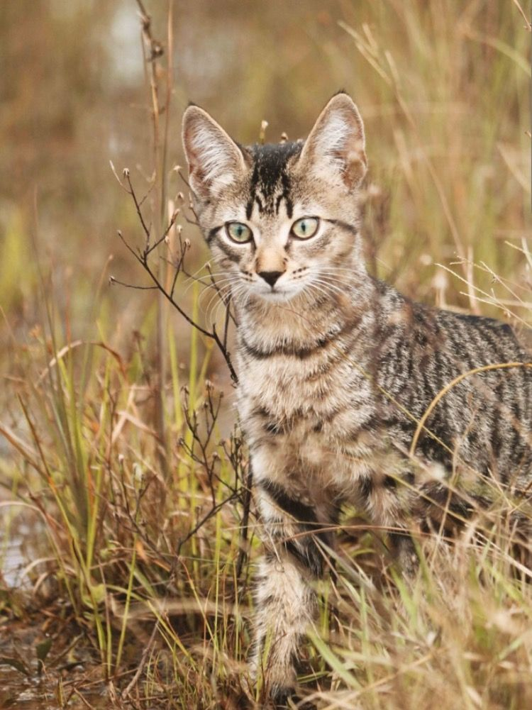 Pale Ginger Light Brown Tan Tabby Cat With Black Dark Stripes Tabby Cat Tabby Cat Pictures Beautiful Cats
