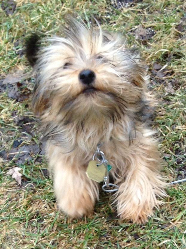 Carkie 3 4 Yorkie And 1 4 Cairn Terrier Yorkie Terrier Cairn