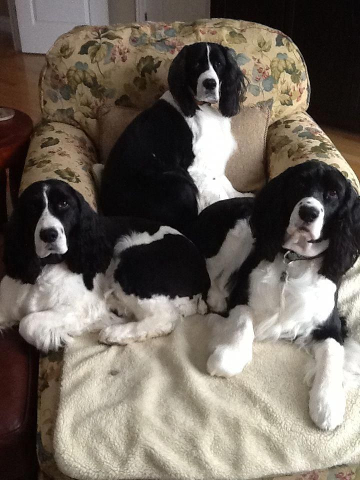 Springer spaniel puppies mn for sale