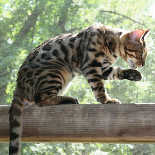 Gus Jaspers Daddy Bengal Cat Breeders Bengal Cat Cats And Kittens