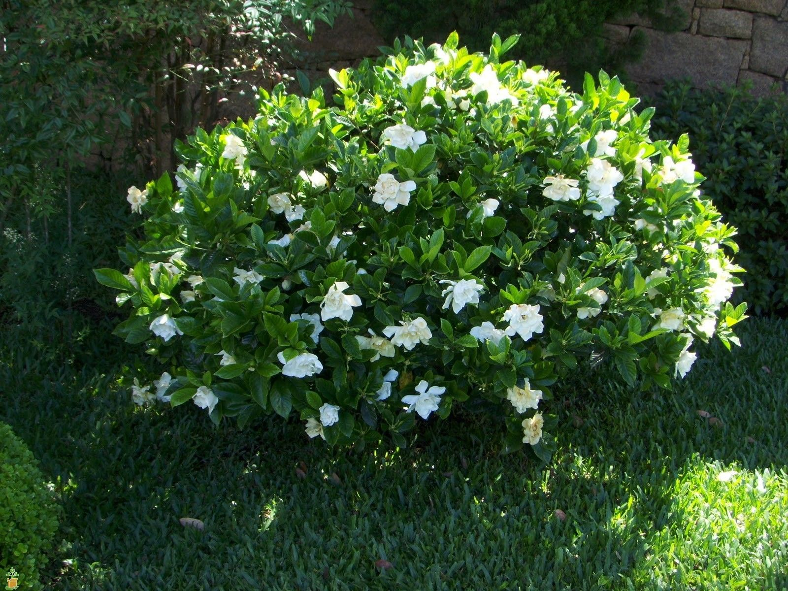 Frost Proof Gardenia With Images Gardenia Shrub Plants