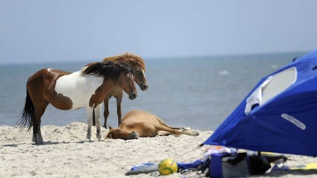 at-this-beach-you-can-camp-alongside-wild-ponies