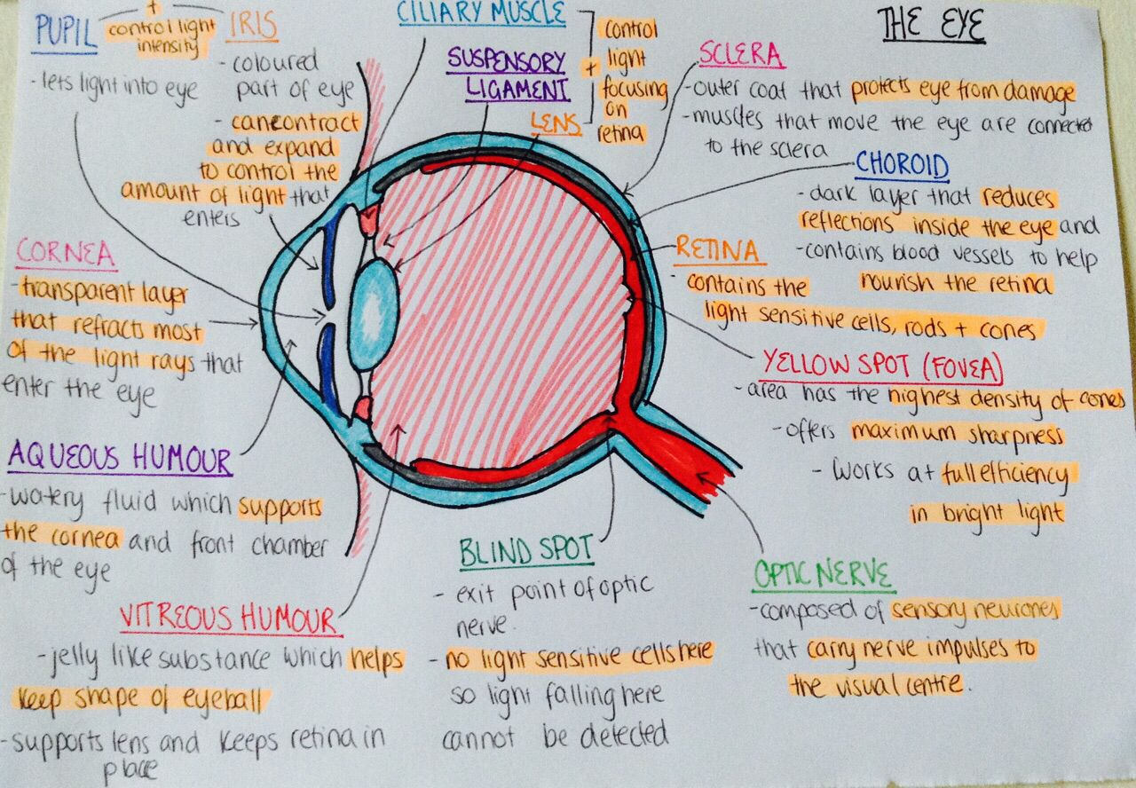 Eye Anatomy And Physiology A Amp P