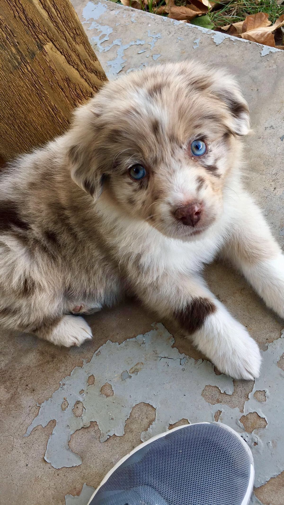 Australian Shepherd Puppy #cutepuppies