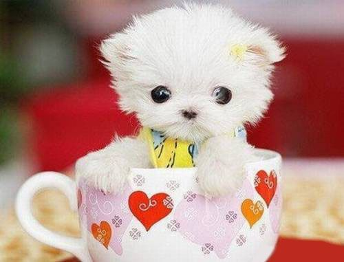 3c4cd6134b1 Am I your favorite cup of tea? | Funny animals | Tiny puppies, Cute ...