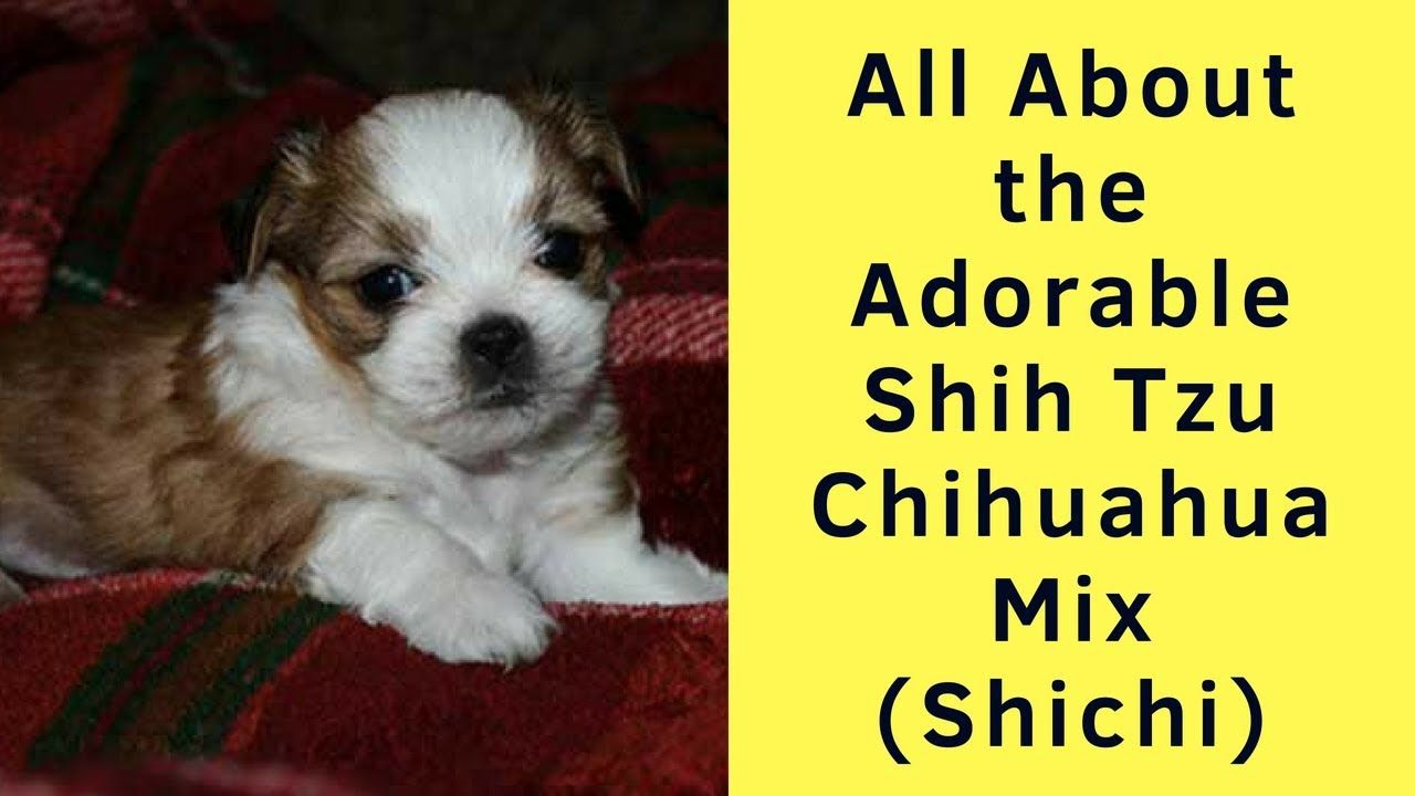 All About The Adorable Shih Tzu Chihuahua Mix Shichi Chihuahua Mix Puppies Chihuahua Mix Shih Tzu
