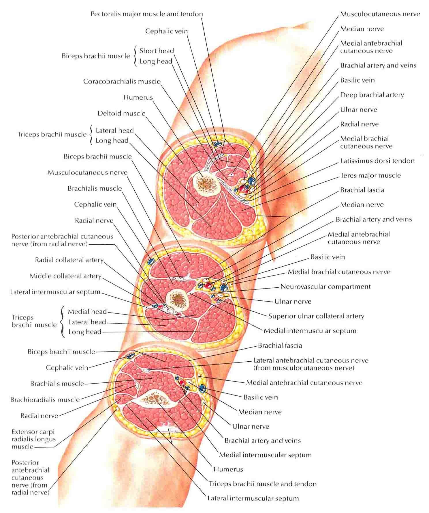 Pin By Oj Alimbuyuguen On Anatomize Pinterest Cross Section