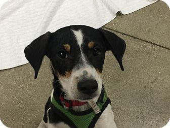 Pin By Dee Zaninelli On Animals Up For Adoption Rat Terrier Mix