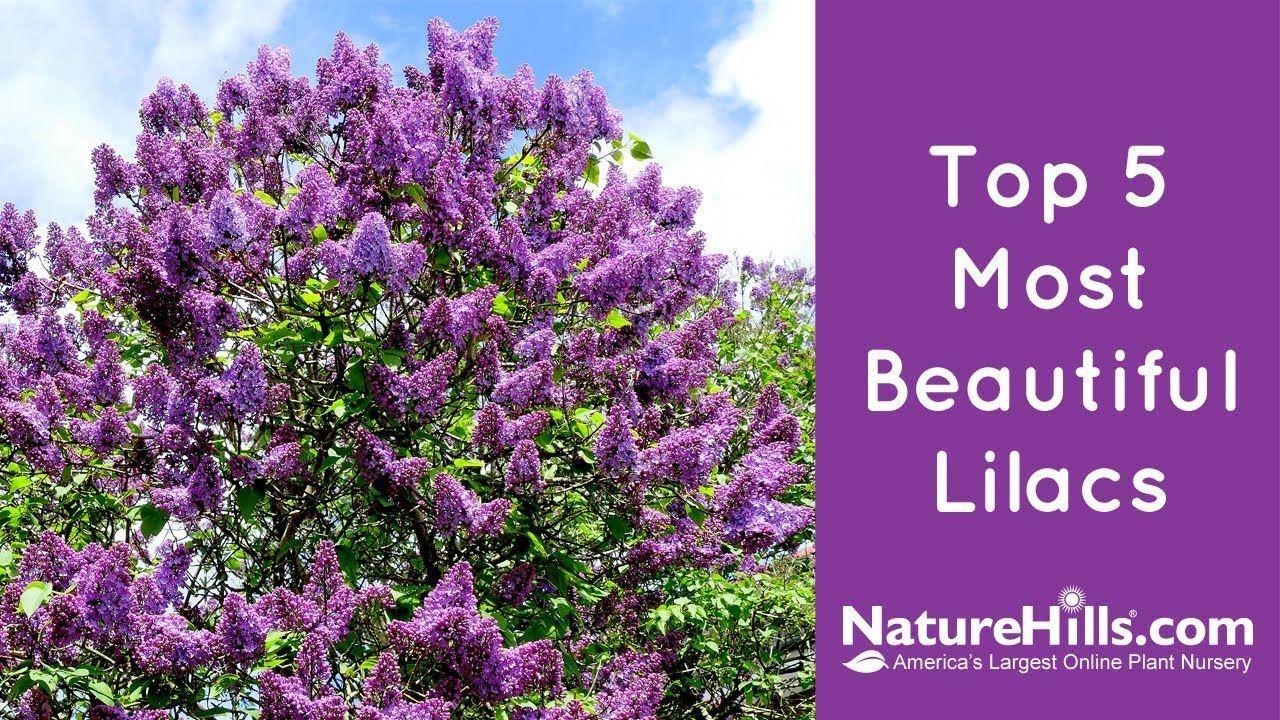 Top 5 Most Beautiful Lilacs Naturehills Com Lilac Lilac Varieties