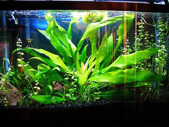 Amazon Sword Plant Freshwater Plants Planted Aquarium Aquatic Plants