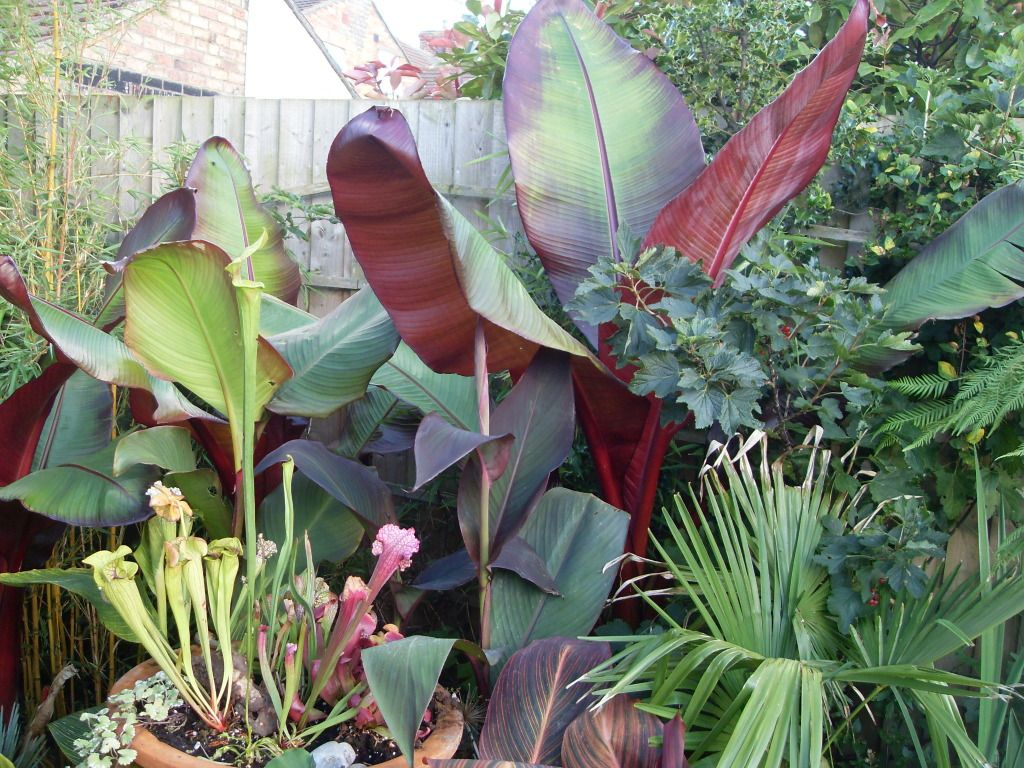 how to care for and over winter red banana tree my florida