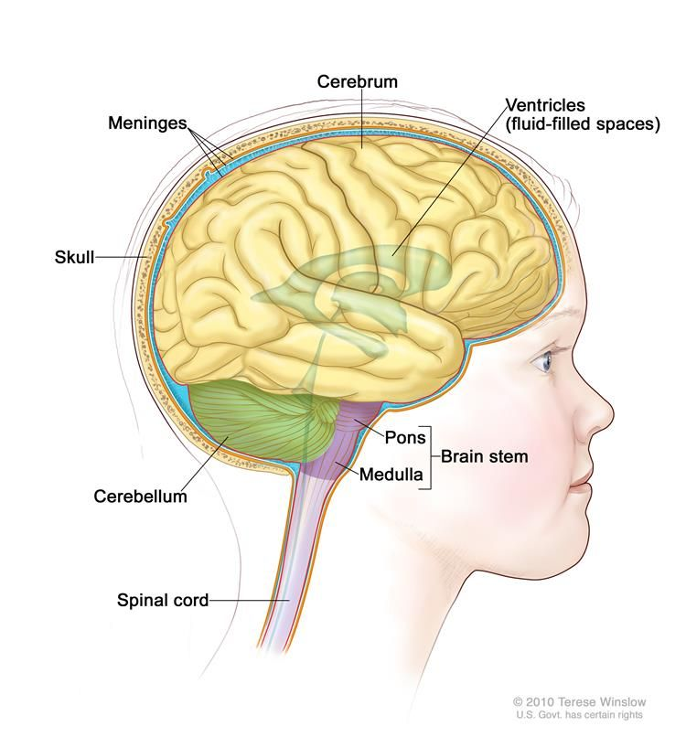 The Human Brain And Nervous System For Ks1 Ks2 Children Year 7