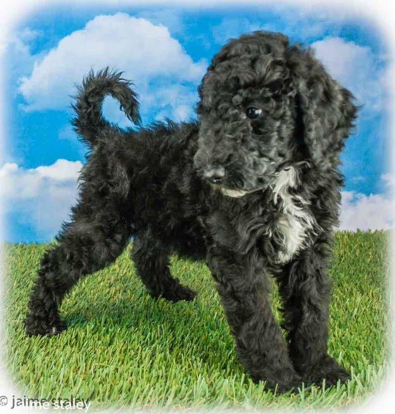 Zeke Male Standard Poodle 425
