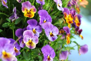 Pansy Flower Meaning Flower Meaning Flower Meanings Pansies Flowers Pansies