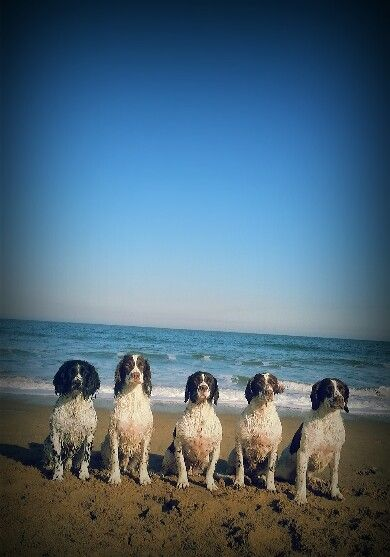 English springer spaniels x 5 at south shields, north east, england :-)
