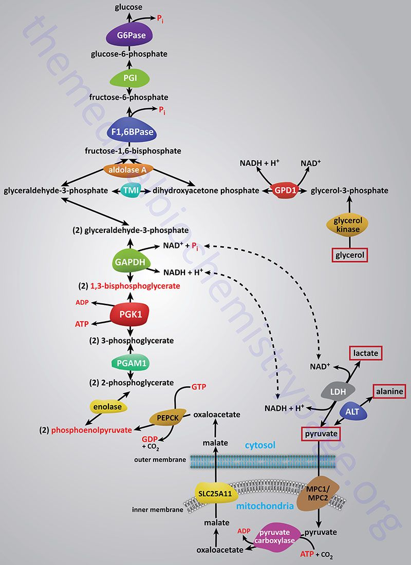 Reactions of gluconeogenesis