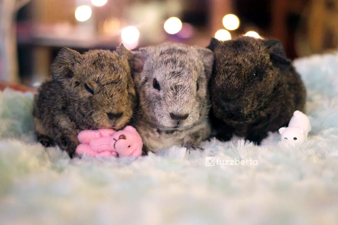 Meet the Jelly Babies: Baby Guinea Pigs So Cute They Look Fake