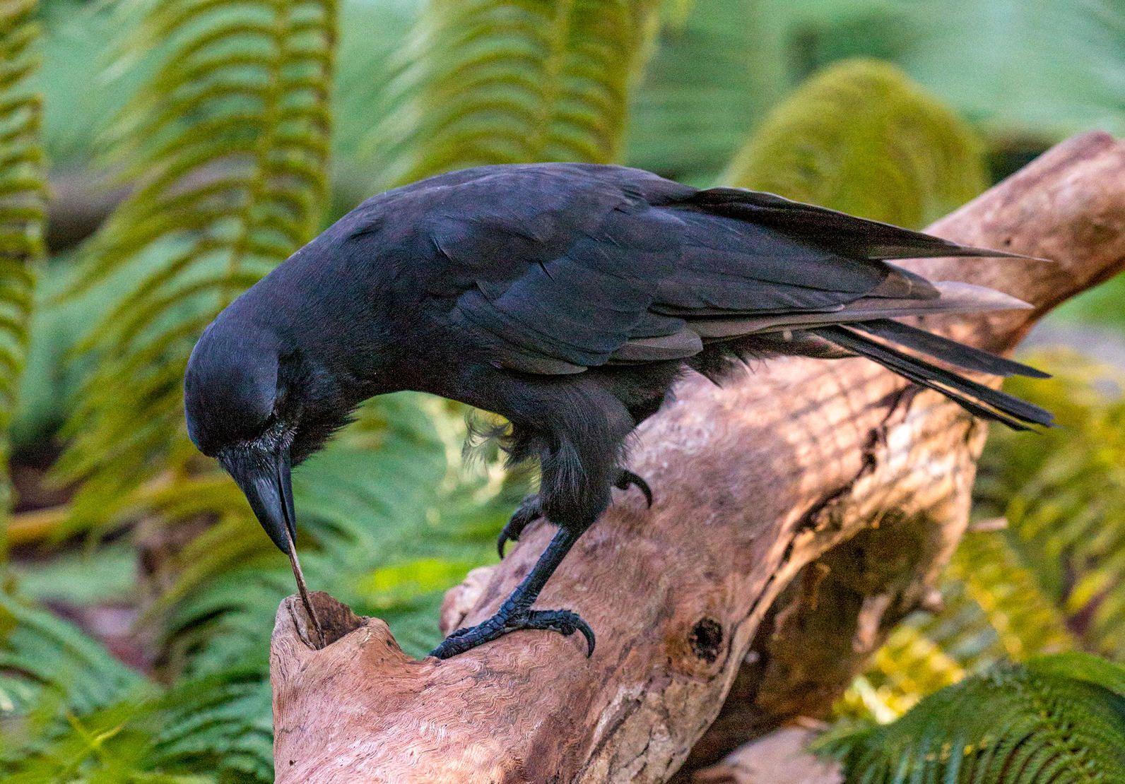 Hawaiian Crow Reintroduction — Birds that Use Tools | Audubon