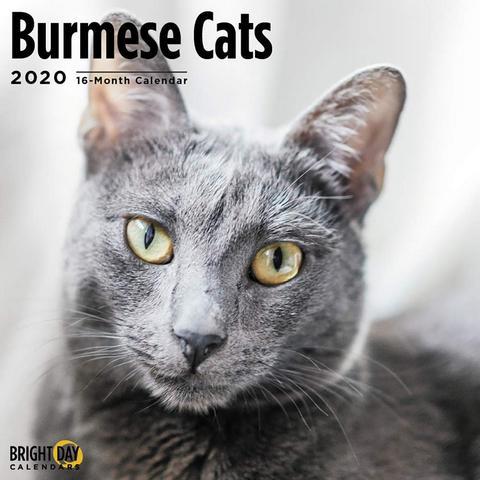 Pin On Burmese Cats