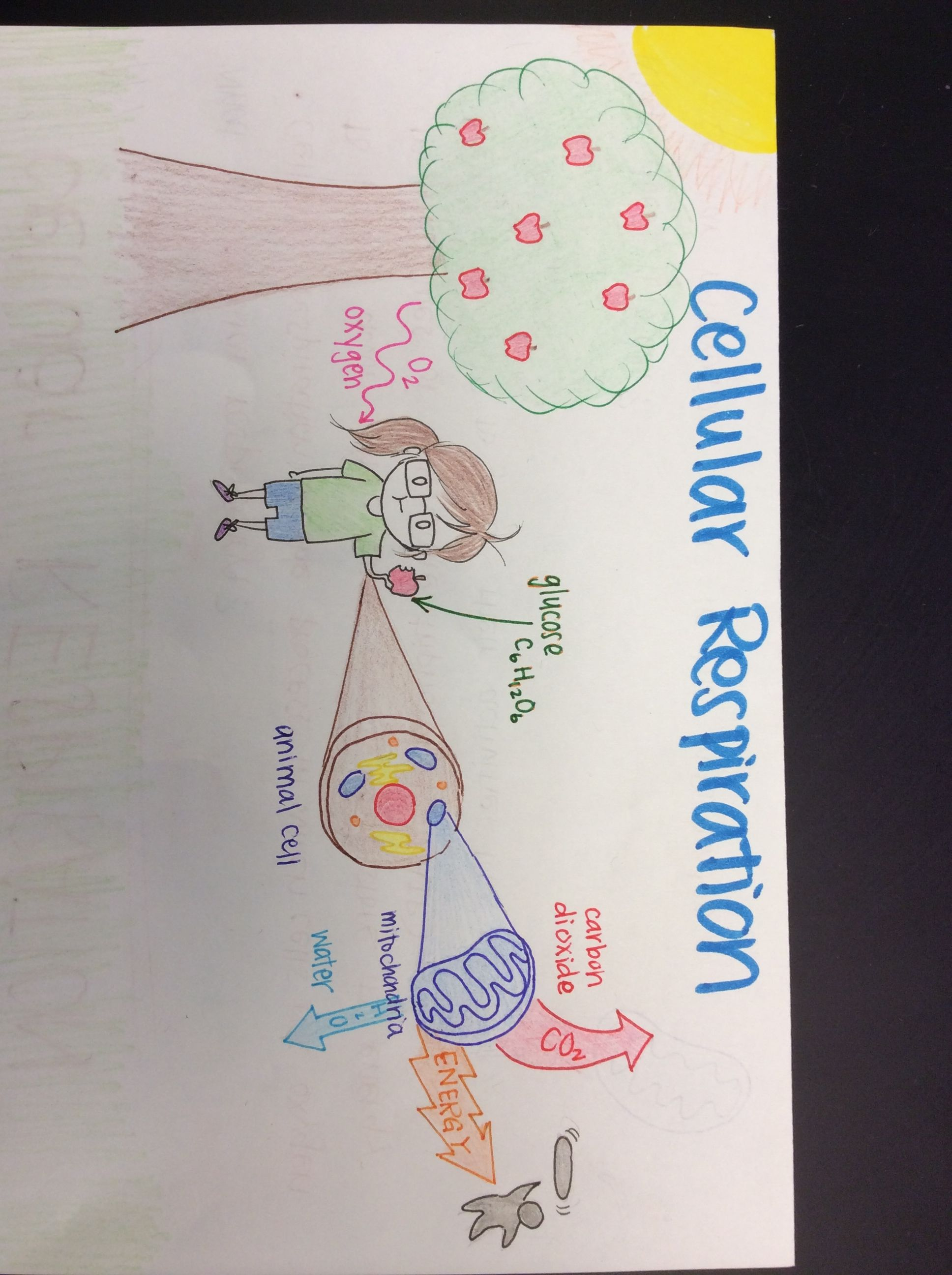 Cellular Respiration Diagram With Images