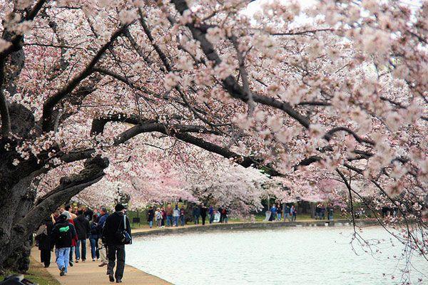 All About The Cherry Blossoms Washingtonian Dc Cherry Blossom Festival Festivals Around The World Washington Dc Travel
