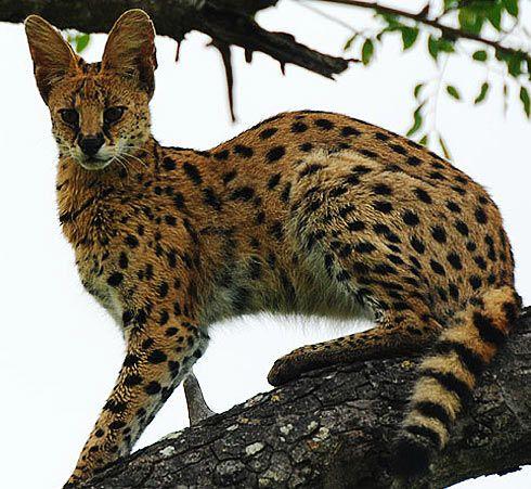 Serval Long Legged Little Head African Cat African Cats Serval Serval Cats