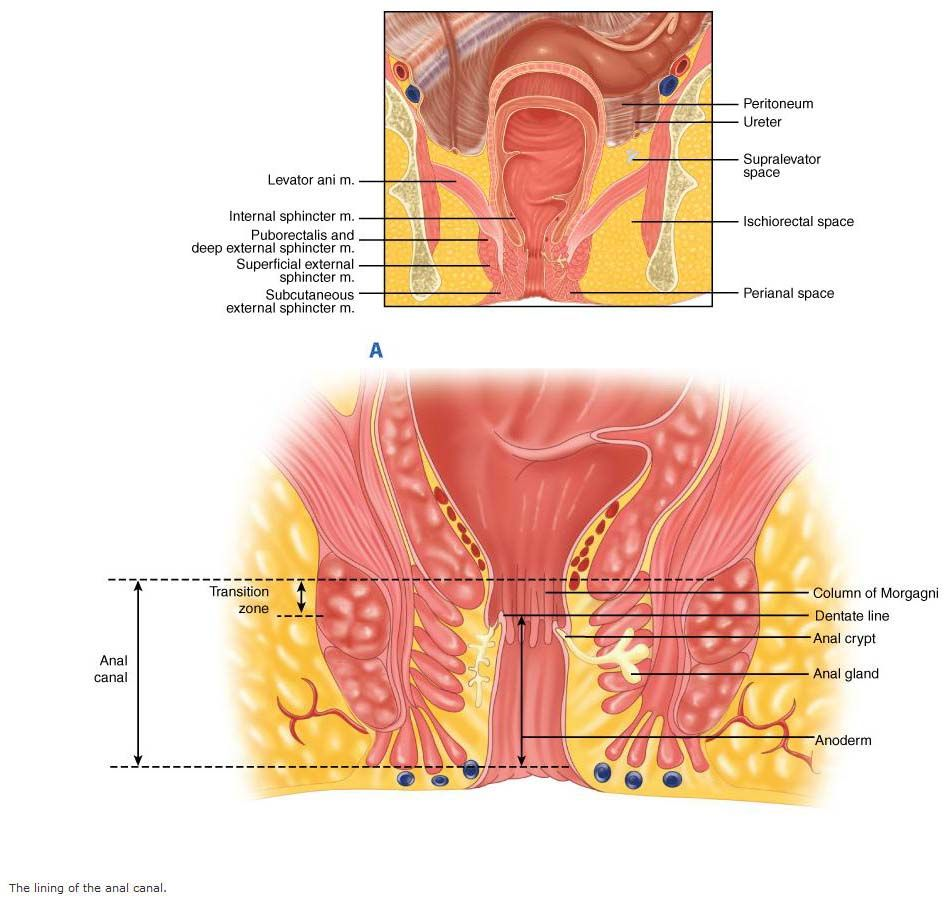 Anal-Canal-Images.jpg (948×904) | usmle | Pinterest