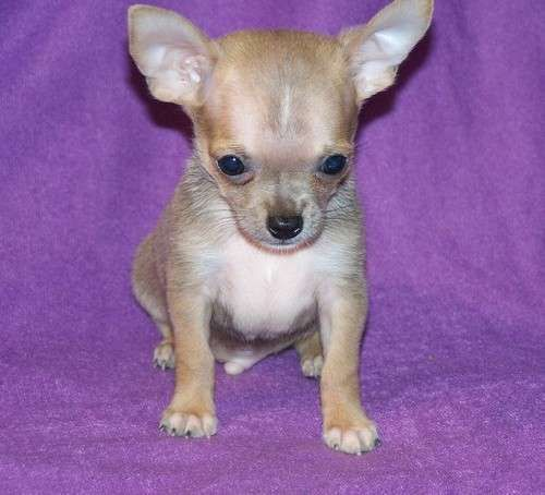 Dogs For Sale With Price Sale Adoption Price Tag Chihuahua