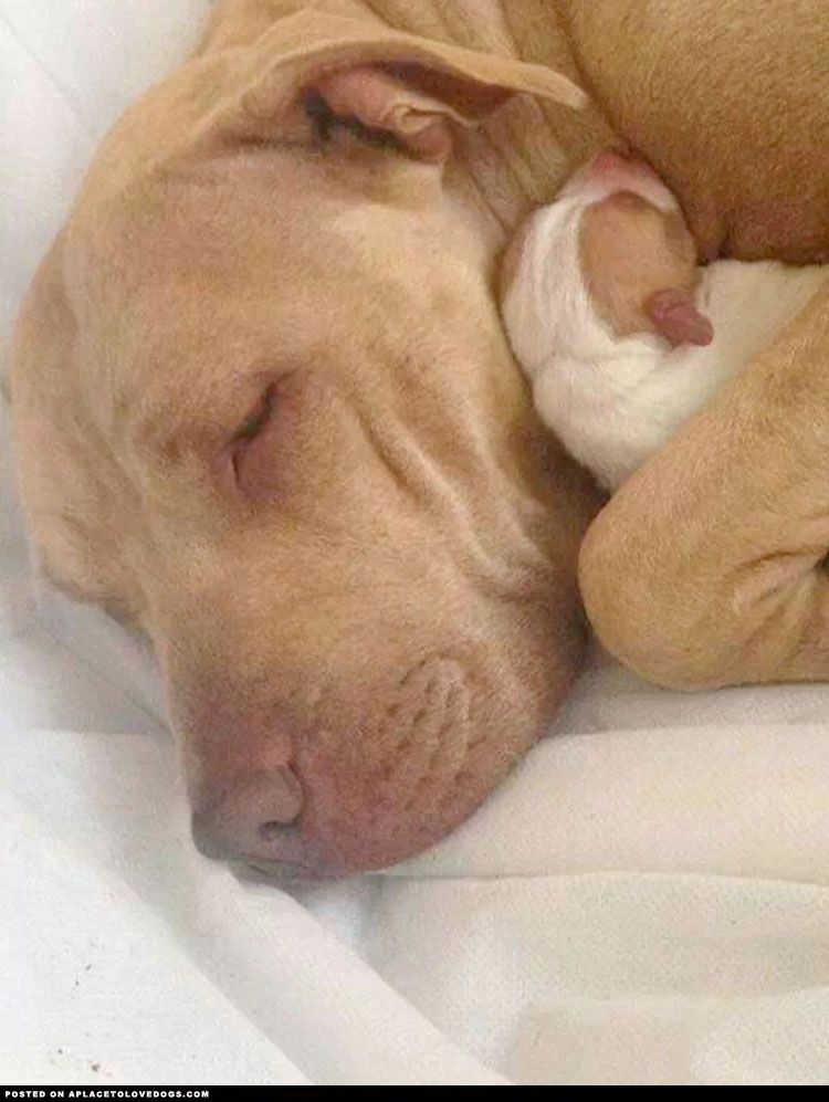 Sweet Red Nose Pitbull A Place To Love Dogs Animals Beautiful