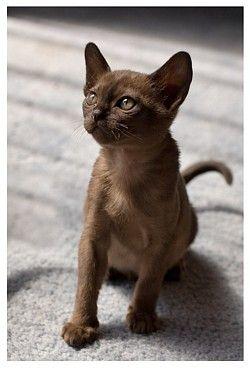 Chocolate Looks Just Like Keira When I Got Her Burmese Kittens