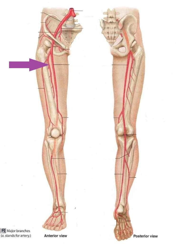 Image Result For Deep Femoral Artery Anatomy Pinterest Anatomy