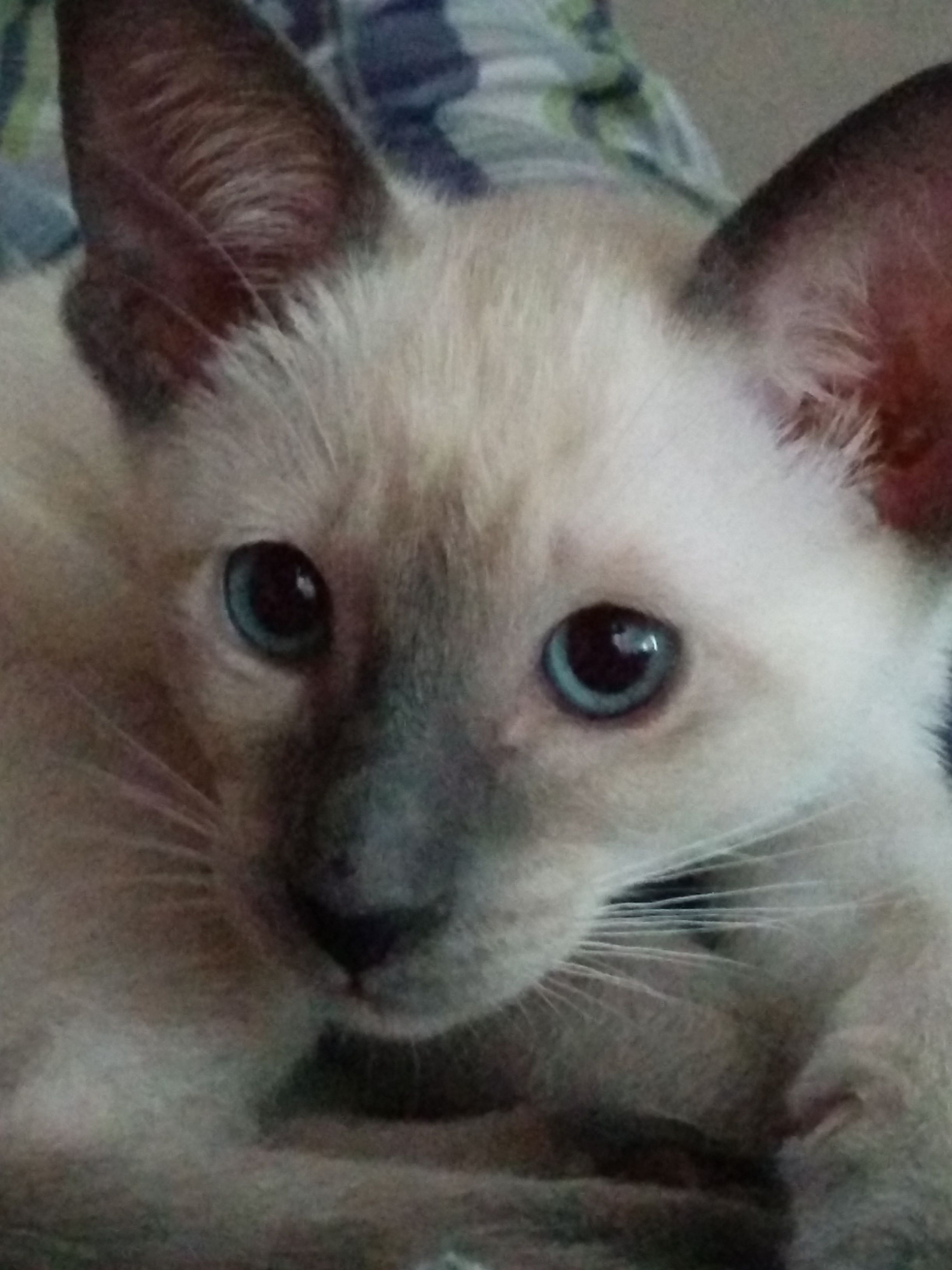 8 Week Old Blue Point Siamese Cute Cats Pretty Cats Cats And Kittens