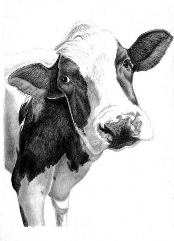 Cow Art Print - Hand Drawn Animal Pencil Drawing A4 / A5 Sizes ...