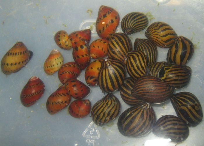 Freshwater Aquarium Snails Buy Aquarium Snails Fish Tank Plants Freshwater Aquarium