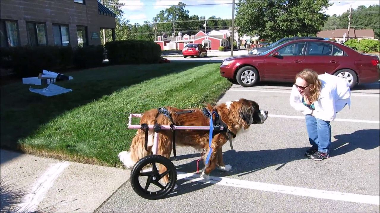 Large Walkin Wheels Dog Wheelchair Compilation Video Dog