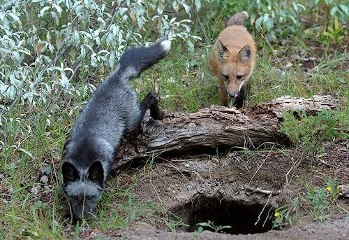 corsac fox | ... the silver fox is a species related to the red fox but they are the