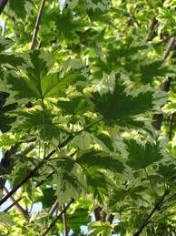 Bildresultat för Acer platanoides Drummondii