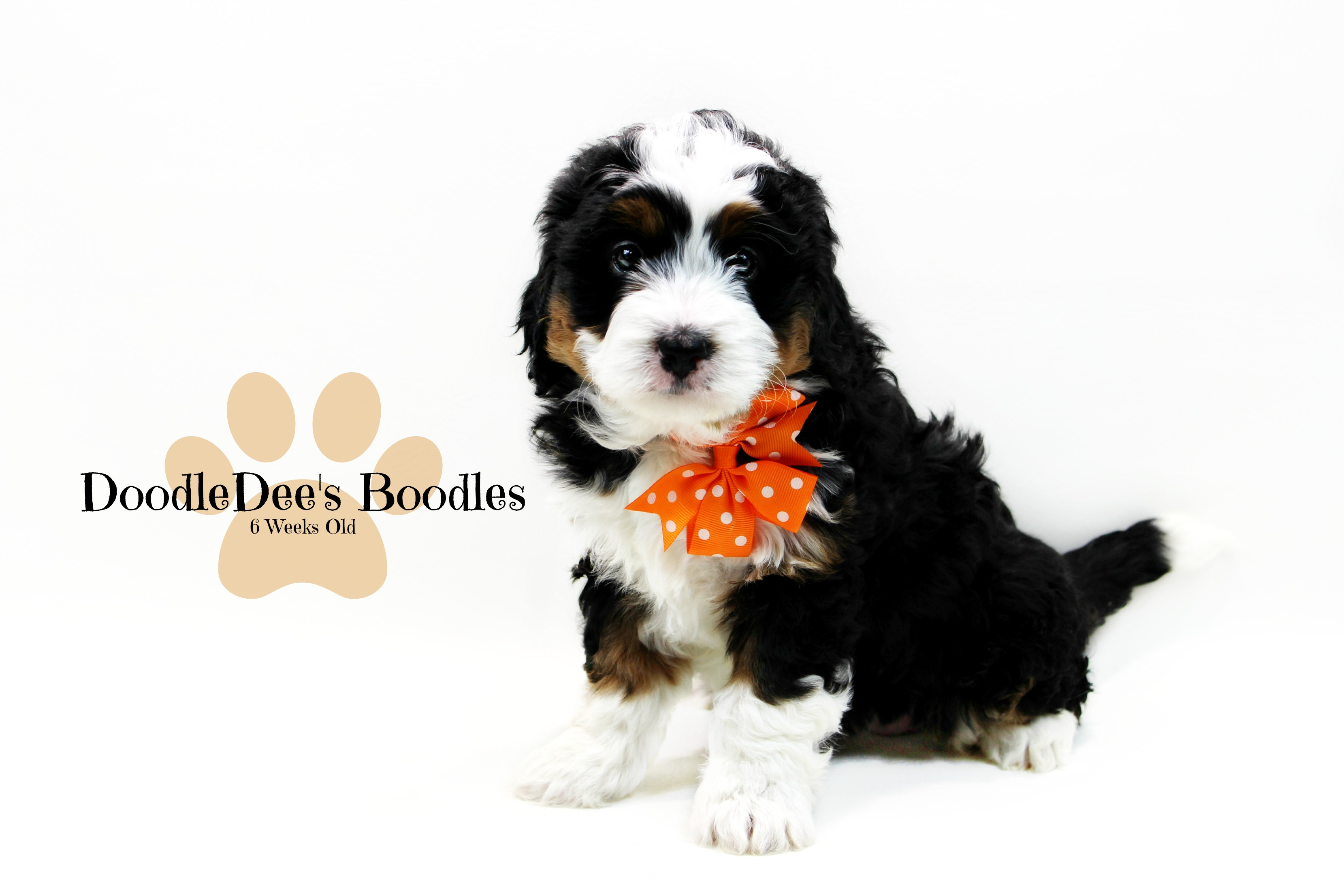 Bernedoodles Are The Most Gentle Cuddly Loving Fluff Balls We
