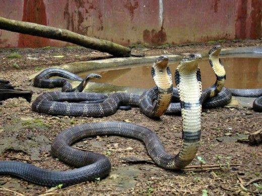 Mangalore Map Beaches And Tourist Places King Cobra Snake