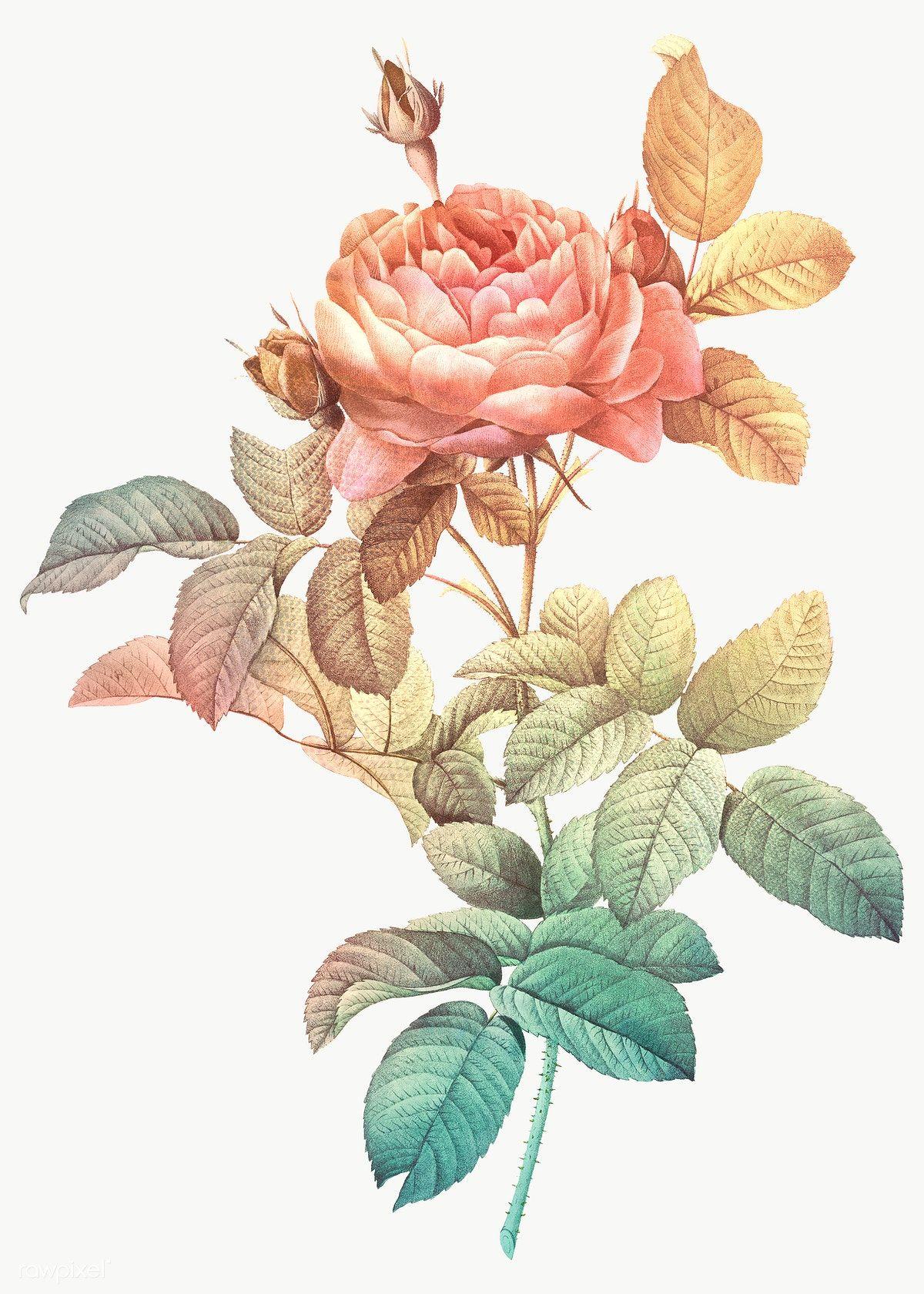 Download Premium Png Of Vintage Rose Illustration Transparent Png Design In 2020 Rose Illustration Vintage Roses Illustration