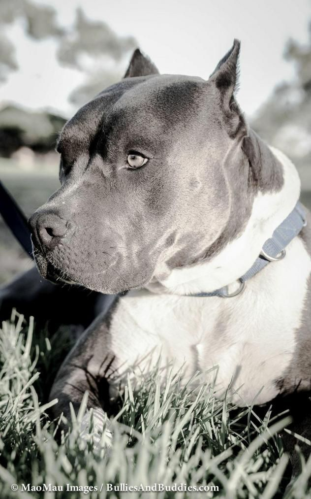 I found Nohea on Great dane dogs, Pets, Adoption