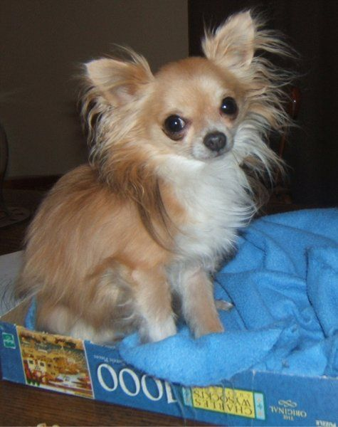 pictures of chihuahuas | Chihuahua Photos Pictures Chihuahuas