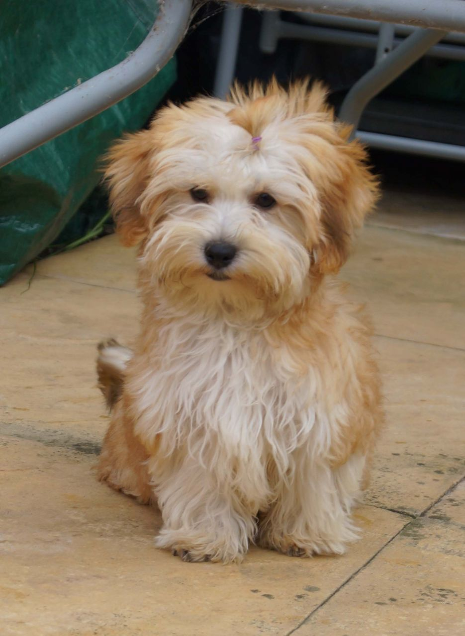 Pure Breed Havanese Puppy Boy For Sale Havanese Puppies Puppies