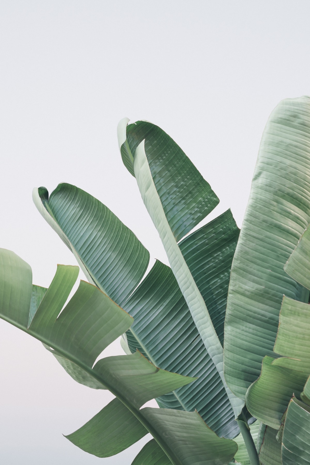 Banana Leaves Photography Design. / Visual. in 2020