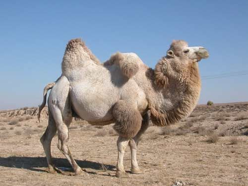 Bactrian Camel Is One Of The Rare Species Camels Having Two Humps On Their Back Read To Know Interesting Facts And Amazing Information